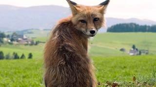 Fuchs (Foto: SWR, SWR -)