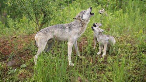 Wolf mit Jungtieren auf Wiese (Foto: imago images, imago/imagebroker)