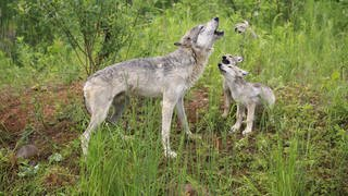Wolf mit Jungtieren auf Wiese (Foto: Imago, imago/imagebroker)