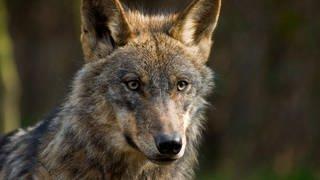 Wölfe leben in den Wäldern der Masuren (Foto: Colourbox)