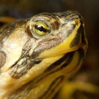 Eine Gelbwangen-Schmuckschildkröte (Foto: picture alliance / dpa)