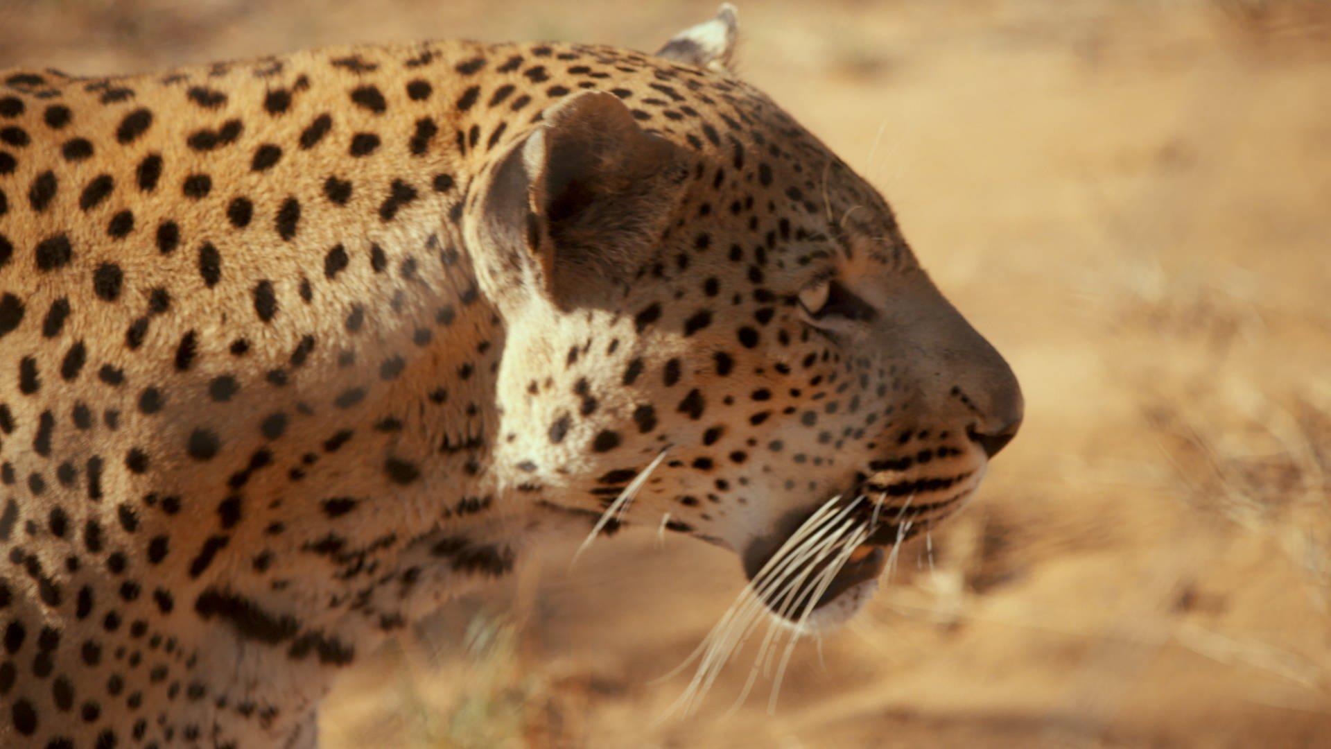Steckbrief Leopard   Wissen   SWR Kindernetz