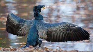 Ein Kormoran breitet seine Flügel an einem Teich aus (Foto: dpa Bildfunk, Picture Alliance)