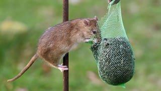 Eine Ratte (Foto: dpa Bildfunk, Picture Alliance)