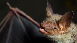 Eine Fledermaus der Art Großes Mausohr (Foto: dpa Bildfunk, Picture Alliance)