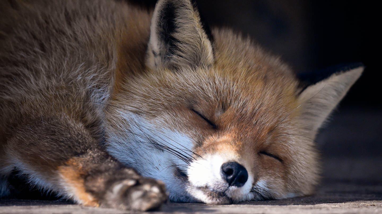Auf Partnersuche: Jäger warnen vor liebestollen Füchsen