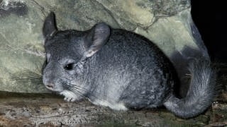 Chinchilla (Foto: picture-alliance / Reportdienste, Anka Angency International)