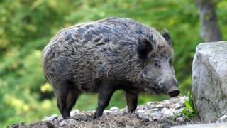 Ein Wildschwein (Foto: dpa Bildfunk, Picture Alliance)