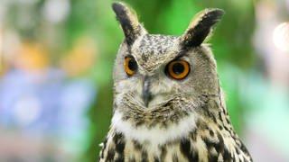 Ein Uhu mit großen Augen und einem gemusterten Gefieder. (Foto: dpa Bildfunk, Picture Alliance)