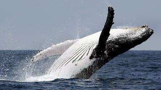 Ein Buckelwal springt aus dem Wasser (Foto: dpa Bildfunk, Picture Alliance)